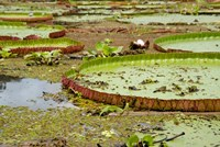 Brazil, Amazon, Valeria River, Boca da Valeria Giant Amazon lily pads Fine Art Print