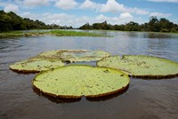 Giant Amazon lily pads, Valeria River, Boca da Valeria, Amazon, Brazil Framed Print