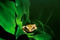 Coqui Frog in Puerto Rico Fine Art Print