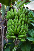 Cuba, Topes de Collantes banana fruit tree Fine Art Print