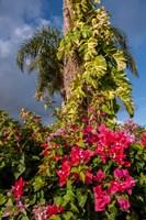 Bougainvillea flora, Bavaro, Higuey, Punta Cana, Dominican Republic Fine Art Print