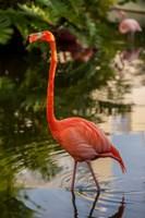 Pink flamingo, Bavaro, Higuey, Punta Cana, Dominican Republic Fine Art Print