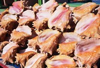 Conch Shells, St Georges, Grenada, Caribbean Fine Art Print