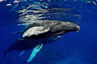 Humpback whale calf, Silver Bank, Domincan Republic Fine Art Print