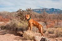 American Pitt Bull Terrier dog, New Mexico Fine Art Print