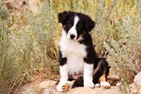Border Collie puppy dog Fine Art Print