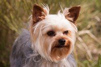 Purebred Yorkshire Terrier Dog Fine Art Print