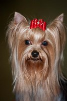Show Yorkshire Terrier Dog with red bow Fine Art Print