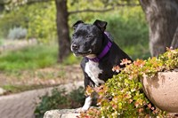 Staffordshire Bull Terrier dog in a garden Fine Art Print