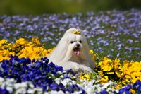 USA, California Maltese lying in flowers with yellow bow Fine Art Print