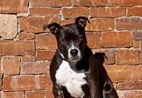 American Staffordshire Terrier dog Fine Art Print