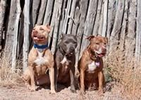 American Pitt Bull Terrier dogs, NM Fine Art Print