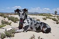 A Great Dane lying in the sand in Ventura, California Fine Art Print
