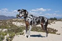 A Great Dane standing in sand at the Ventura Beach, California Fine Art Print