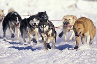 Iditarod Dog Sled Racing through Streets of Anchorage, Alaska, USA Fine Art Print