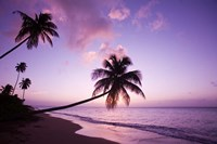 Palm Trees at Sunset, Coconut Grove Beach at Cade's Bay, Nevis, Caribbean Fine Art Print