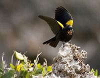Yellow shouldered blackbird, Mona Island, Puerto Rico Fine Art Print