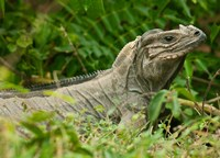 Ground Iguana lizard, Pajaros, Mona Island, Puerto Rico Fine Art Print