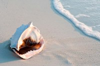 Conch Shell At Sunset, St Martin, Caribbean Fine Art Print