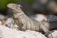 Cayman Islands, Caymans iguana, Lizard, rocky beach Fine Art Print