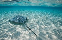Cayman Islands, Southern Stingray in Caribbean Sea Fine Art Print