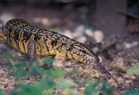 Trinidad, Asa Wright Nature Ctr, Tiger Lizard Fine Art Print