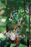 Butterfly Farm on St Martin, Caribbean Fine Art Print
