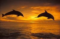 Silhoutte of Bottlenose Dolphins, Caribbean Fine Art Print