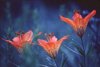 Alberta, Jasper National Park Wood lily flowers Fine Art Print