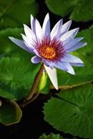 Lily flower pads, Botanic Park, Grand Cayman Fine Art Print