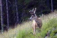 Young deer in Banff National Park, Alberta, Canada Fine Art Print