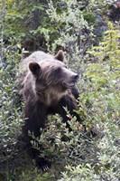 Grizzly bear in Kootenay National Park, Canada Fine Art Print