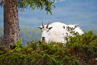Alberta, Jasper National Park, Mountain Goat wildlife Fine Art Print