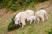 Alberta, Jasper NP, Mountain Goat wildlife Fine Art Print