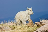 Mountain Goat, Rocky Mountains, Colorado Fine Art Print
