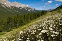 Oxeye daisy flowers, Kananaskis Range, Alberta Fine Art Print