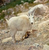 Alberta, Banff NP, Rocky Mountain goat Fine Art Print