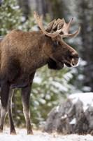 Alberta, Jasper National Park Bull Moose wildlife Fine Art Print