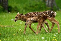 Canada, Alberta, Waterton Lakes NP, Mule deer fawns Fine Art Print