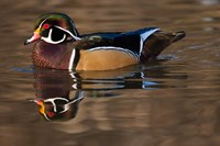Close up of Wood duck, British Columbia, Canada Fine Art Print