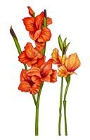 Floral Gladiolas Fine Art Print