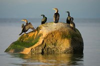 Double-crested cormorant bird, British Columbia Fine Art Print
