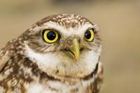 Burrowing owl, Nicola Valley, British Columbia Fine Art Print