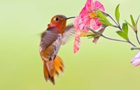Rufous Hummingbird feeding in a flower garden, British Columbia, Canada Fine Art Print