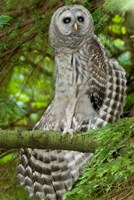 Barred owl, Stanley Park, British Columbia Fine Art Print