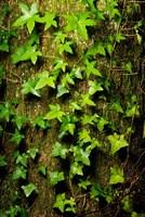 Red cedar English ivy, Stanley Park, British Columbia Fine Art Print