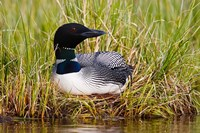 British Columbia, Common Loon bird Fine Art Print