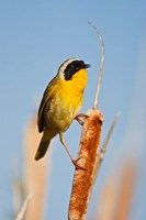 British Columbia, Common Yellowthroat breeding territory Fine Art Print