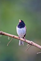 British Columbia, Dark-eyed Junco bird, singing Fine Art Print
