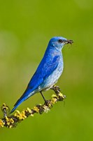 British Columbia, Mountain Bluebird with caterpillars Fine Art Print
